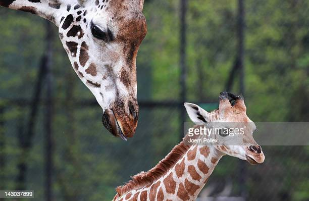 A baby giraffe calf named Mugambi explores alongside his mother Etosha the compound at the Hagenbeck Zoo on April 18 2012 in Hamburg Germany The male...