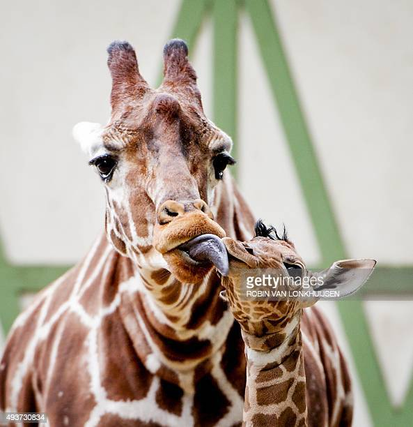 A baby giraffe cuddles with its mother as it explores their outdoor enclosure for the first time in the Artis Royal Zoo in Amsterdam The Netherlands...