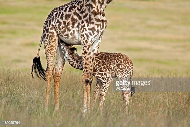 Baby giraffe feeding
