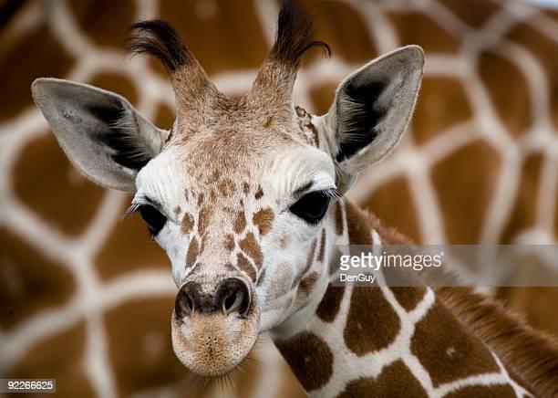 Baby Giraffa nella parte anteriore della madre