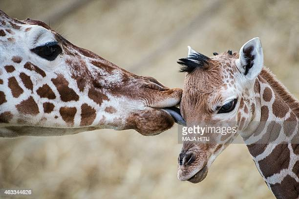 A baby giraffe is being licked by another giraffe at the zoo in Duisburg western Germany on February 13 2015 The baby giraffe was born at the zoo on...