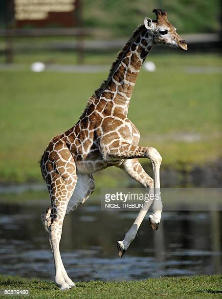 Baby giraffe Katja enjoys her first outing at the Serengeti Park in Hodenhagen northwestern Germany on April 23 2008 Katja was born on January 14...