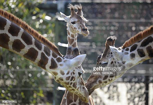 Baby giraffe Katja stands between two adult giraffes during her first outing at the Serengeti Park in Hodenhagen northwestern Germany on April 23...