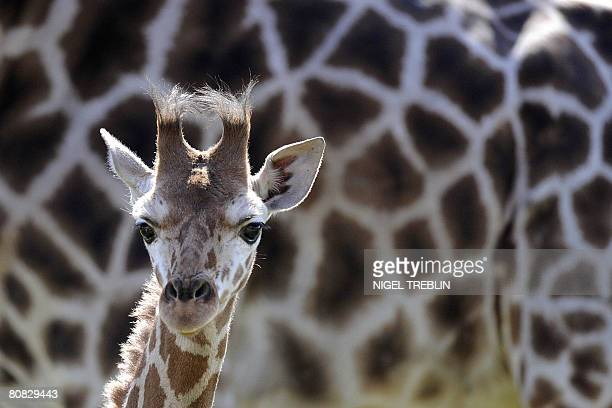 Baby giraffe Katja stands next to her mother Geha during her first outing at the Serengeti Park in Hodenhagen northwestern Germany on April 23 2008...