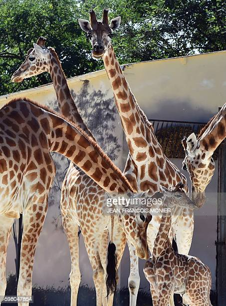 """Baby giraffe """"Kenai"""" , born on August 25 is surrounded by other giraffes of Niger on August 31, 2016 at the zoo of La Fleche, northwestern France. /..."""