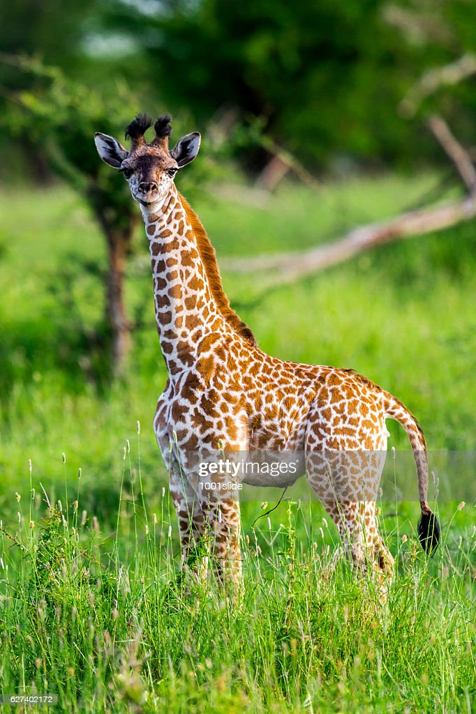 Baby giraffe like a toy with umbilical cord : Stock Photo