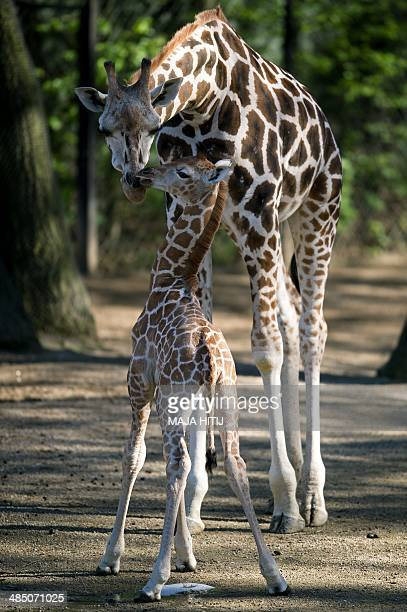 Baby giraffe Madiba stands next to his mother Etosha at the Tierpark Hagenbeck zoo in Hamburg northern Germany on April 16 2014 The baby giraffe was...
