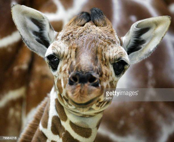 Baby giraffe Niek stands with his mother Oranya in Animal Park Artis in Amsterdam on February 25 2008 Niek was born the previous Friday evening ANFP...