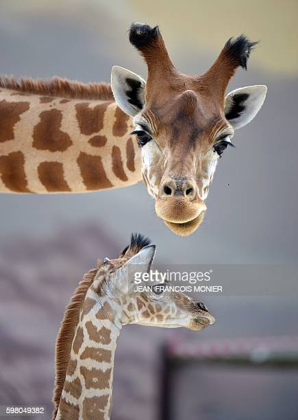 Baby giraffe of Niger 'Kenai' born on August 25 stands next to his 12yearsold mother 'Dioni' on August 31 2016 at the zoo of La Fleche northwestern...