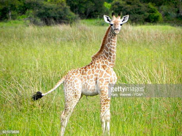 A baby giraffe on a plain in Botswana