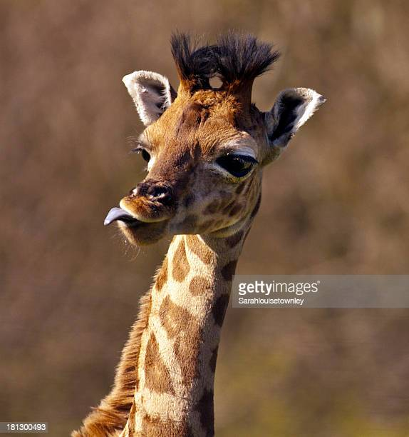 Baby giraffe with tongue sticking out