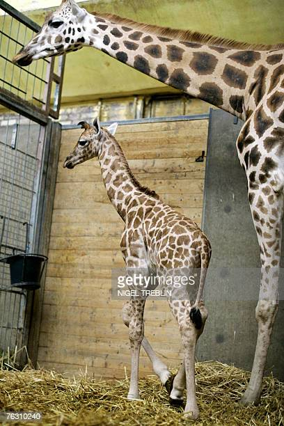 A baby giraffe stands next to his mother Shahni at the zoo in the northwestern German town of Hanover 24 August 2007 The giraffe who was born 4days...