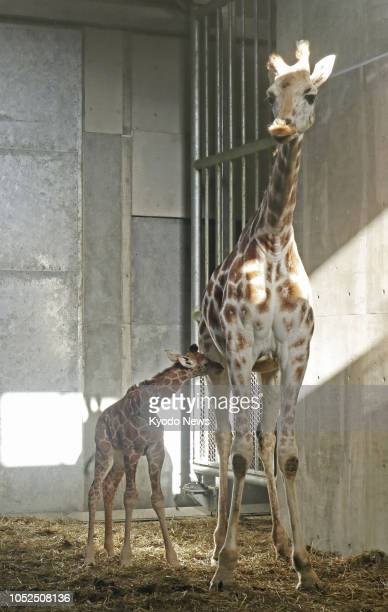 A baby giraffe stands together with his mother at Asahiyama Zoo in Asahikawa Hokkaido northern Japan on Oct 18 2018 ==Kyodo