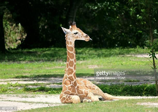 Baby giraffe sticking out tongue