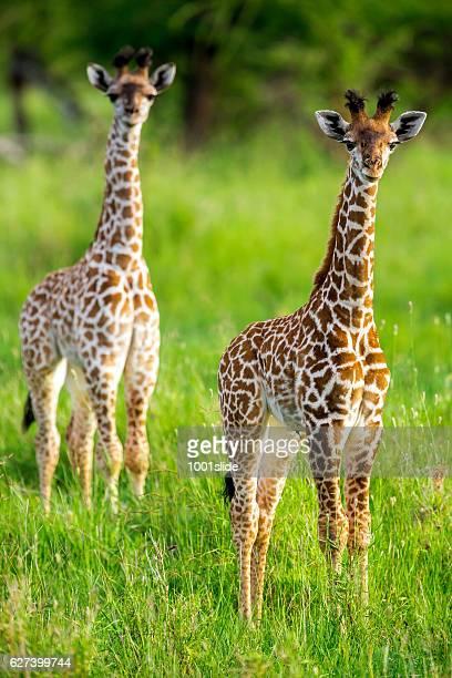 Bebê as girafas como um Brinquedos com Cordão umbilical