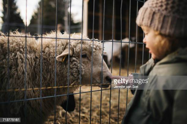 Baby girl poking nose of sheep behind fence