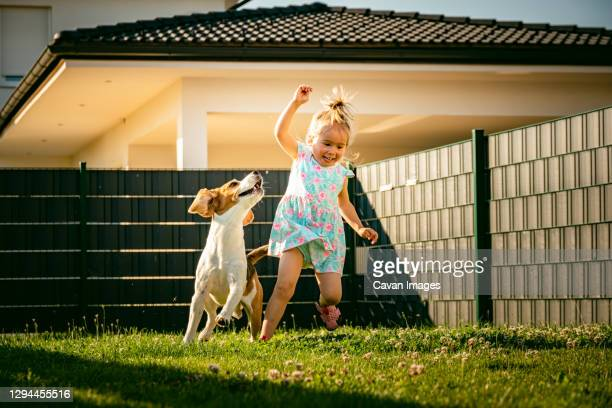 baby girl running with beagle dog in backyard in summer day. domestic animal with children concept. - dogs tug of war stock pictures, royalty-free photos & images