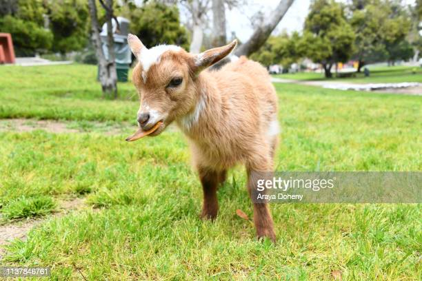 Baby goat Gizmo does goat yoga at Party Goats LA Baby Goat Spring Picnic at Griffith Park on March 23 2019 in Los Angeles California