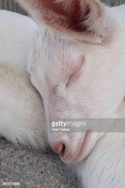 A baby goat sleeps outside a hut in the Raetikon mountain range on August 4 2016 near Brand Austria The Raetikon mountains part of the Central...