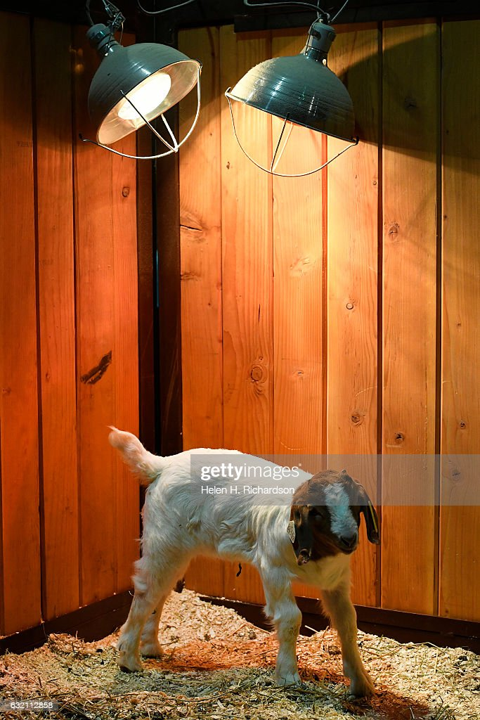 A Baby Goat Stays Warm Under A Heat Lamp At The Baby Animal Nursery In The