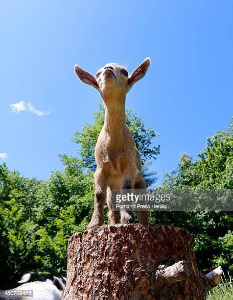 A baby goat take it's place on the coveted stump at Sunflower Farm in Cumberland A video made of the baby goats running around the farm has become a...