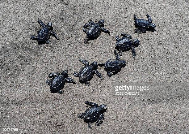 Baby Golfina Turtles make their way to the sea after being released by volunteers at Los Pinos beach 53 kms south of San Salvador on September 19...
