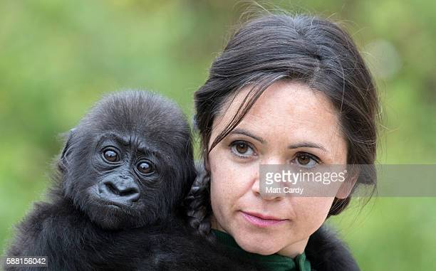 Baby gorilla Afia catches a ride on her keeper Joanne Rudd back on 'Gorilla Island' at Bristol Zoo on August 10 2016 in Bristol England The hand...