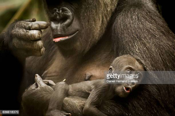 Baby gorilla in his mother's arms