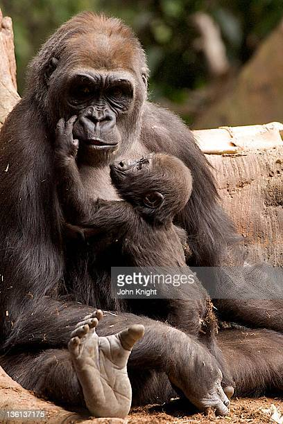 Baby gorilla kisses his mother