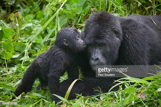 Baby Gorilla Kisses Silverback Male