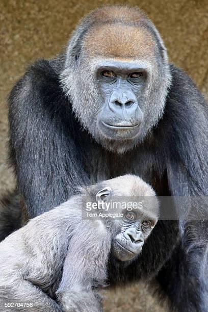baby gorilla - gorille photos et images de collection
