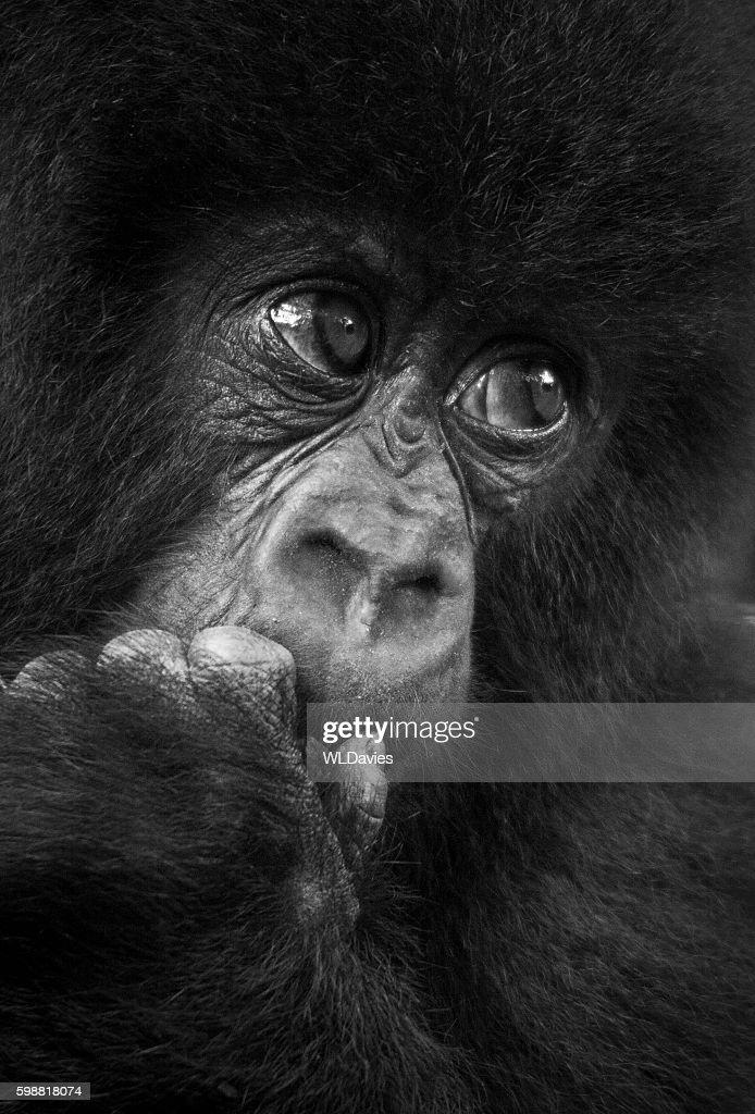 Baby gorilla : Stock Photo