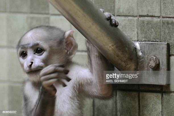 Baby gray langur Raipur inspects his enclosure on April 25 2008 at the zoo in Berlin Raipur was born at the zoo on March 30 2008 and was named after...
