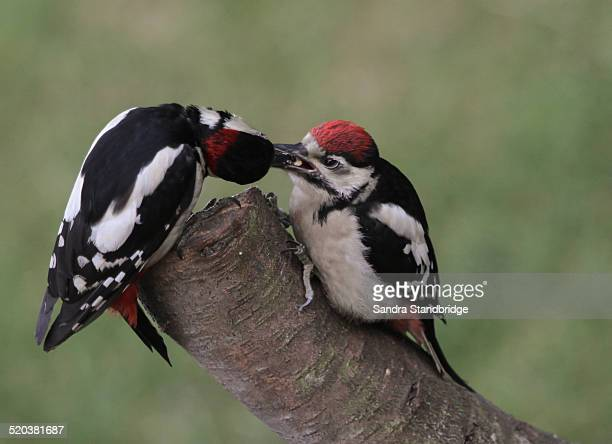 A Baby great Spotted Woodpecker being fed by Dad.