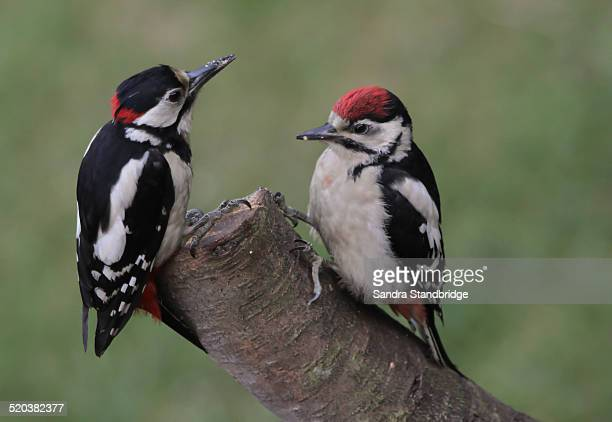 a baby great spotted woodpecker with dad. - pica pau malhado grande - fotografias e filmes do acervo