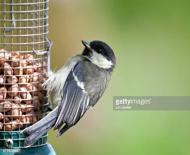 Baby Great Tit (Parus major) on peanut feeder