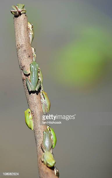 Baby green frogs hold onto vegetation above falling flood waters on January 17 2011 in Rockhampton Australia Rockampton experienced some of...