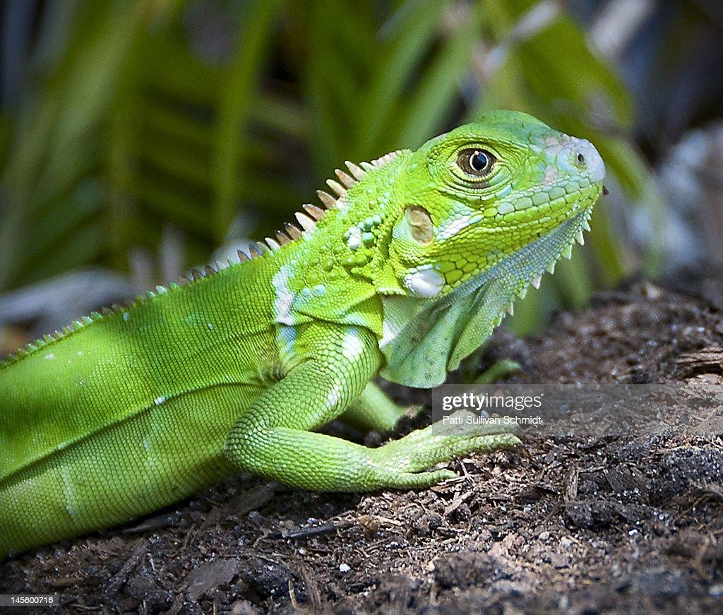 Baby Green Iguana Stock Photo | Getty Images - photo#15