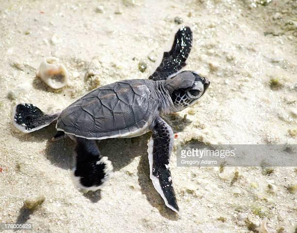 Baby Green Sea Turtle on a beach