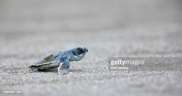 baby green sea turtle pauses on the beach while making its way to the sea - young animal stock pictures, royalty-free photos & images
