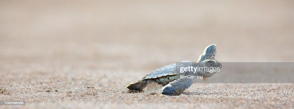A baby green sea turtle scurries across the beach to get to the safety of the ocean : Stock Photo