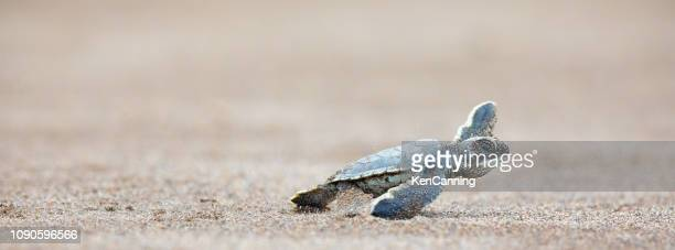 a baby green sea turtle scurries across the beach to get to the safety of the ocean - costa rica stock pictures, royalty-free photos & images