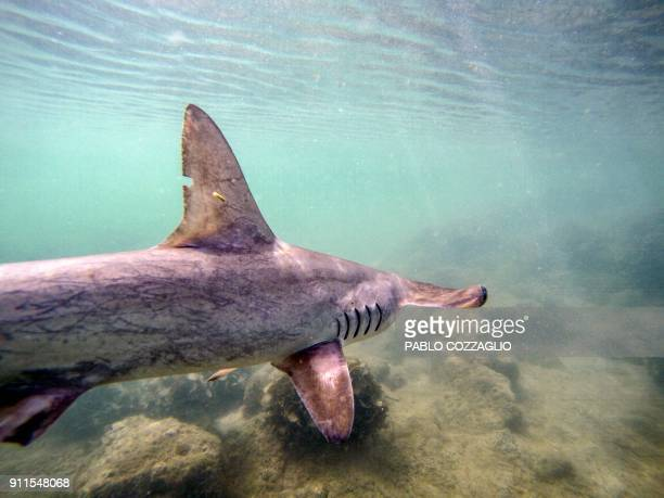 A baby hammerhead shark swims after being released by the Galapagos National Park research team where a shark nursery was discovered along the coast...