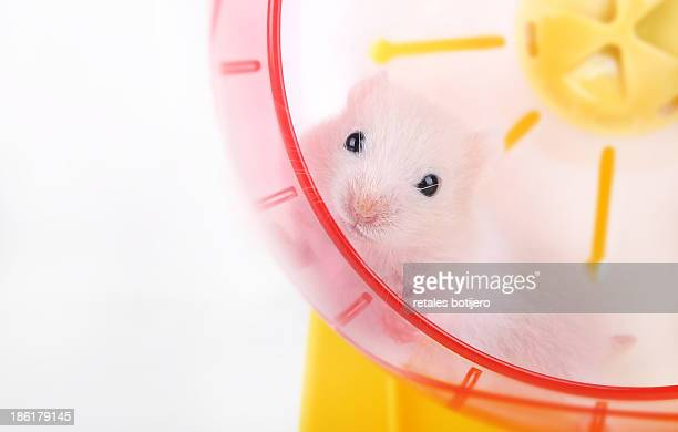 Baby hamster in the wheel