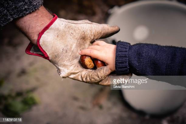 baby hand give fresh chestnut to adult hand - chestnut food stock pictures, royalty-free photos & images