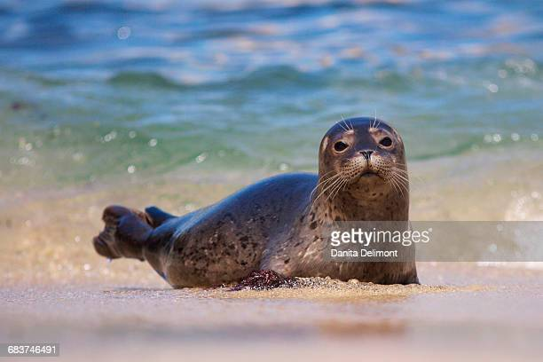 Baby harbor seal (Phoca vitulina) in beach water, La Jolla, California, USA