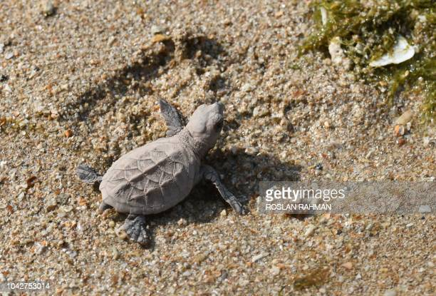 A baby Hawkbills turtle makes its way to the sea on the beach at Sisters' island marine park in Singapore on September 29 2018 More than 300...