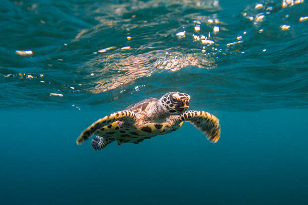 Baby Hawksbill Sea Turtle Swims With Reflection Wall Art