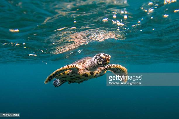 Baby hawksbill sea turtle swims with reflection
