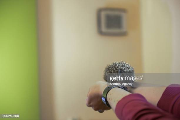 A baby hedgehog is seen at Foundation Igliwiak a rescue center for hedgehogs in Kazimierza Wielka Poland on May 30 2017 The Foundation Igliwiak is...